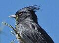Phainopepla nitens -Tucson -Arizona-8d.jpg