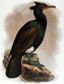 Phalacrocorax perspicillatus.png