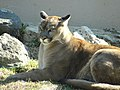 Phillips Park Zoo Cougar.JPG