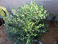 Phillyrea angustifolia - Missouri Botanical Garden.jpg