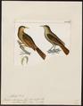 Philydor ochrolaemus - 1820-1860 - Print - Iconographia Zoologica - Special Collections University of Amsterdam - UBA01 IZ19200183.tif