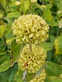 Phlomis russeliana 2016-07-19 2841.jpg