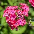 Phlox paniculata 'Elisabeth Arden' in Jardin des 5 sens (4).jpg