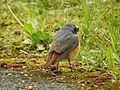 Phoenicurus phoenicurusGartenrotschwanzCommon Redstart 02.JPG