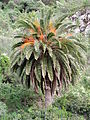 Phoenix canariensis kz2.JPG