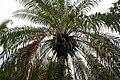 Phoenix roebelenii 13zz.jpg