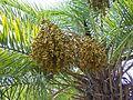 Phoenixreclinatafruit.JPG