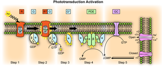 Visual phototransduction - Image: Phototransduction