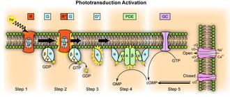 Visual phototransduction - Image: Phototransduction