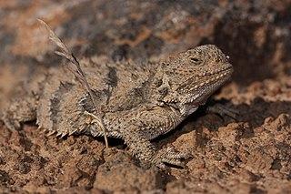 Pygmy short-horned lizard species of reptile