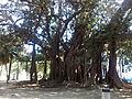 Piazza marina ficus.jpg