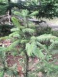 Picea schrenkiana subsp.  tianschanica - Jardim Botânico em Kaisaniemi, Helsinque - DSC03754.JPG