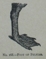 Picture Natural History - No 168 - Foot of Pelican.png