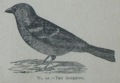 Picture Natural History - No 91 - The Sparrow.png