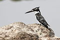 Pied Kingfisher, Ceryle rudis at Borakalalo National Park, South Africa (9822673184).jpg