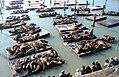Pier39-Sealions.jpg
