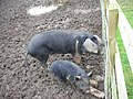Pigs in Mud - geograph.org.uk - 345571.jpg