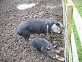 Pigs in Mud - geograph.org.uk - 345571.jpg