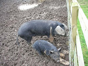 English: Pigs in Mud A sow and piglet on the n...