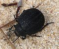 Pimelia species. Tenebrionidae - Flickr - gailhampshire.jpg