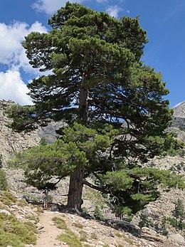 Resultado de imagen para Pinus nigra