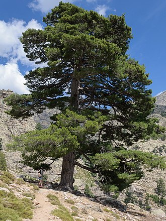 Pinus nigra - Pinus nigra var. corsicana—Corsican pine, in Corsica.