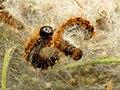 Pine Processionary-moth Caterpillars (32067829252).jpg