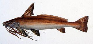 <i>Pinirampus</i> species of fish