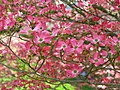 Pink-dogwood-flower-tree - West Virginia - ForestWander.jpg