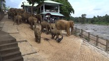 File:Pinnawala-Elephant-Orphanage-01.webm