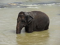 Pinnawala Elephant Orphanage 71.JPG