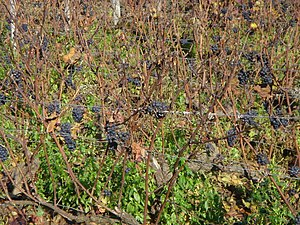 Côte de Nuits - Vineyards in the Côte de Nuits have very high vine density, usually more than twice the vines planted in the same area as what would be found in New World wine regions.