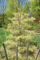 Pinus densiflora 'Oculus-Draconis' - Morris Arboretum - DSC00518.JPG