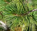 Pinus flexilis 3.jpg