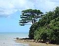 Pinus luchuensis Iriomote Jima 1.jpg