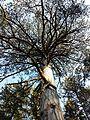 Pinus nigra (subsp. nigra) sl3.jpg