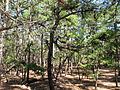 Pinus rigida Batsto NJ 2.jpg