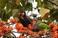 Pionus chalcopterus (Cotorra maicera) - Flickr - Alejandro Bayer (1).jpg