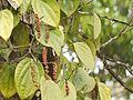 Piper ¿ species ? (5595831310).jpg