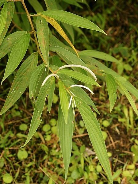 Tình yêu cây cỏ ĐV2 - Page 23 450px-Piper_lanceaefolium_%28habitus%29