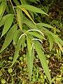 Piper lanceaefolium (habitus).jpg