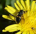 Pipiza species, possibly P. noctiluca - Flickr - gailhampshire.jpg