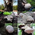 Piptoporus betulinus (Birch Polypore or Razorstrop Fungus or Birch Bracket, D= Birchenporling, F= Polypore du bouleau, NL= Berkenzwam), white spores, causes brownrot. Here several growing stadia. Young a bulb, later a s - panoramio.jpg