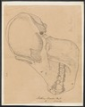 Pithecus brookei - schedel - 1700-1880 - Print - Iconographia Zoologica - Special Collections University of Amsterdam - UBA01 IZ19800074.tif