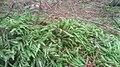 Plagiothecium undulatum Rold Skov.JPG