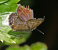 Plains cupid (chilades pandava) I IMG 0004.jpg