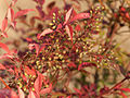 Planta. Oroso Galiza 3.jpg
