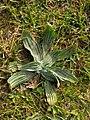 Plantago lanceolata 118292368.jpg