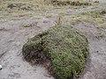 Plantago rígida parque natural los nevados.jpg