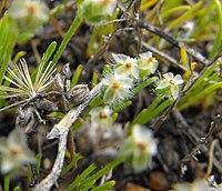Plantagoerecta1.jpg